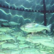 Mikotoxinkockázat akvakultúrában